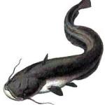 Catfish-vi