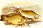 Ловля карася - советы начинающим рыболовам