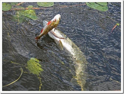 Летняя рыбалка с жерлицами