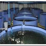 Как разводить рыбу в УЗВ системах?