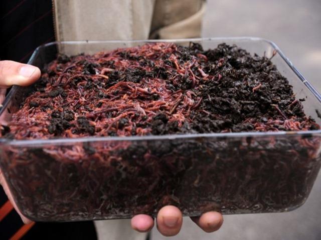 Как в домашних условиях разводить червей для рыбалки в домашних условиях