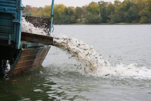 Как проводится зарыбление водоемов