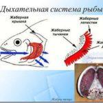Рыбы и способы их дыхания